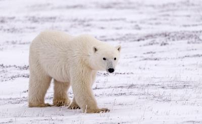 Polar_Bear_CH_6