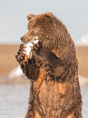 Brown_bear_LC_6
