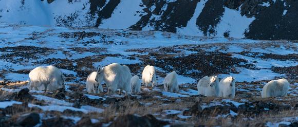 Mountain_Goat_39