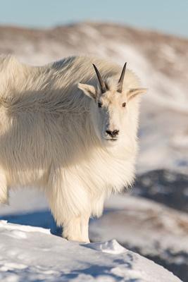 Mountain_Goat_41