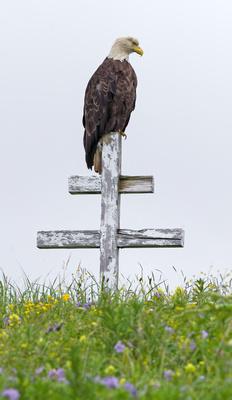 Bald_Eagle_DH_7