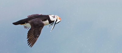 Horned_Puffin_1