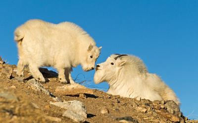 Mountain_goat_32