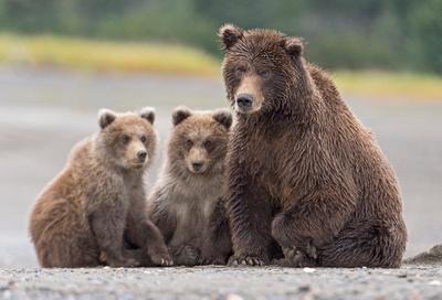 Brown_bear_LC_1