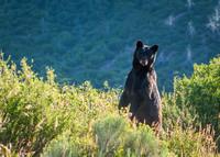Black_Bear_2
