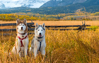 Huskies_in_fall_color_2015