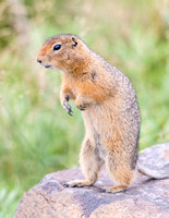 Arctic_ground_squirrel_Denali_2016_6