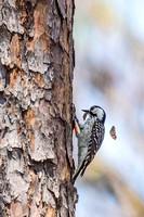 Red-cockaded_woodpecker_Big_Branch_Marsh_NWR_2016_1