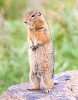 Arctic_ground_squirrel_Denali_2016_5