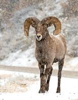 Bighorn_Ram_152