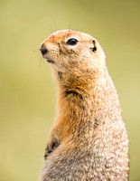 Arctic_ground_squirrel_Denali_2016_1