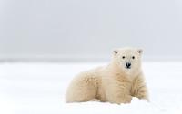 Polar_bear_8