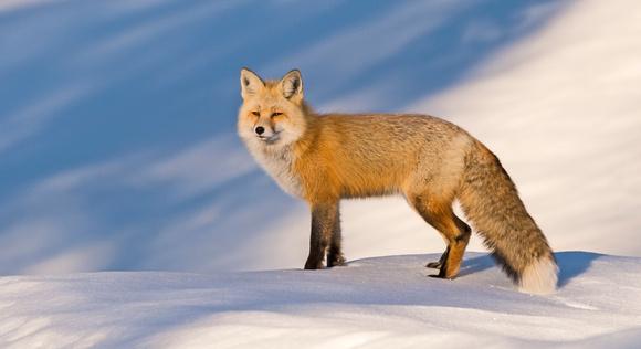 Red_fox_GTNP_1