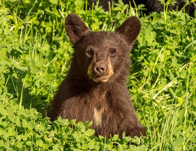 Black_bear_2015_YNP_1