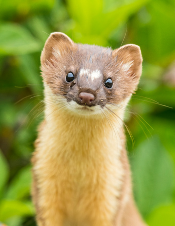 Long-tailed_weasel_YBB_2015_1