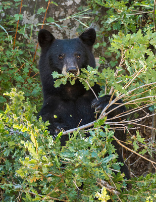 Black_bear_Waterton_2015_4