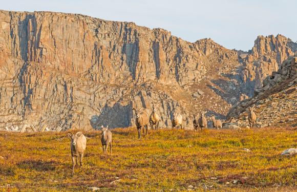 Bighorn_sheep_Mt_Evans_2015_2