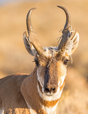Pronghorn_buck_FGNRA_2015_1