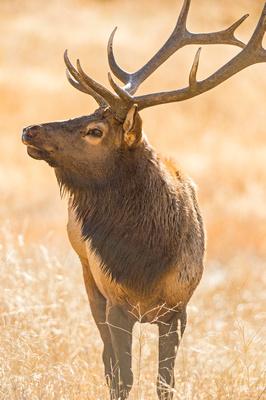 Elk_RMNP_2015_6