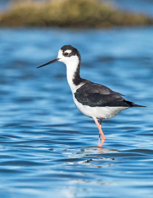 Black-necked_stilt_2015_Salton_Sea_4