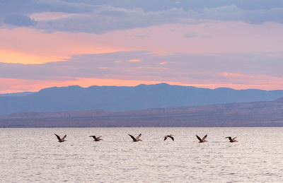 Brown_pelicans_Salton_Sea_2015_1