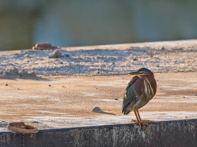 Green_heron_Salton_Sea_2015_1