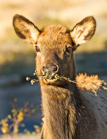 Elk_RMNP_2015_10