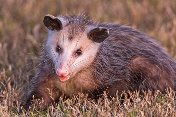 Opossum_Fontainbleau_2015_2