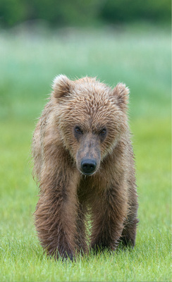 Brown_bear_walking_9