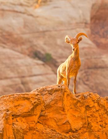 Desert_bighorn_ram_CO_Natl_Mon_2015_2
