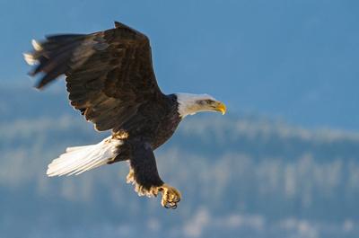 Bald_Eagle_Haines_14
