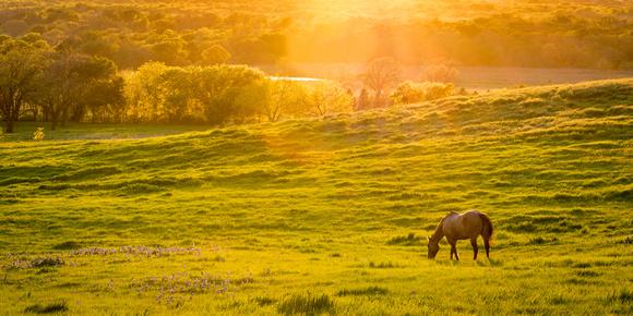 Horse_Texas_bluebonnets_2016_1