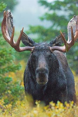 Moose_35