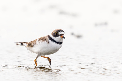 Semi-palmated_plover_Grand_Isle_2016_1