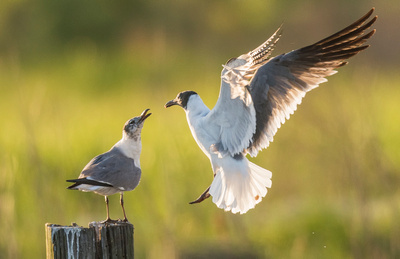Laughing_gulls_Big_Branch_Marsh_NWR_2016_2
