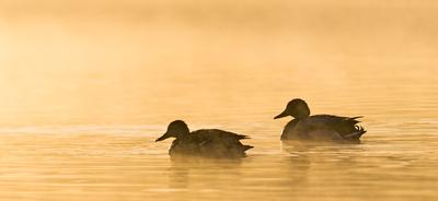 Mallard_duck_7