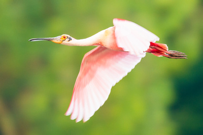 Roseate_Spoonbill_Rips_Rookery_2016_1