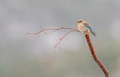 Mountain_bluebird_RMNP_2017_4
