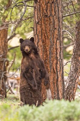 Black_bear_RMNP_2017_4
