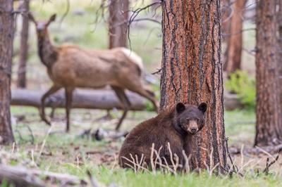 Black_bear_and_elk_RMNP_2017_3