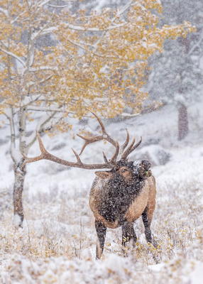 Elk_RMNP_2017_26