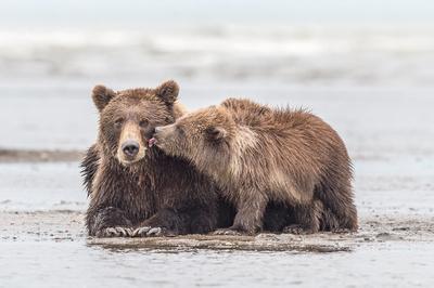 Brown_bear_LCNP_2017_16