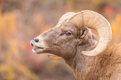 Bighorn_sheep_Waterton_2017_5