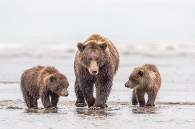 Brown_bear_LCNP_2017_15