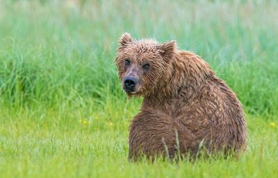 Brown_bear_meadow_5