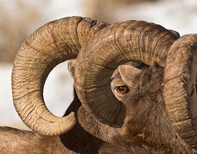 Bighorn_Rams_Eye