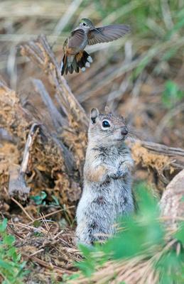 Squirrel_and_hummingbird_3