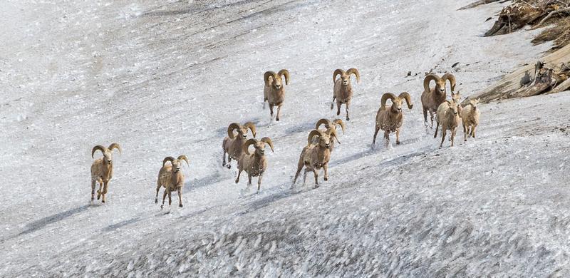 Bighorn_sheep_106