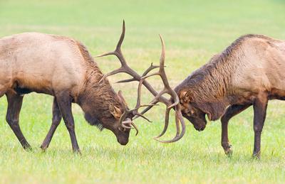 Elk_GSMNP_2016_45
