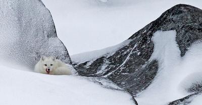 Arctic_Fox_2
